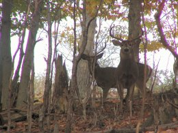 Powder Horn Hunting Preserve - Port Allegany, PA - Specializing in BIG Whitetail Bucks