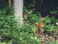ANF Wildlife - Deer Watching